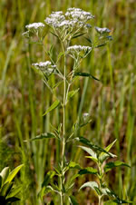 picture of Eupatorium serotinum, image of Eupatorium serotinum, photograph of Eupatorium serotinum