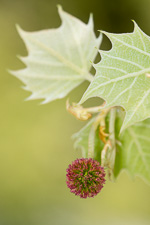 picture of Platanus occidentalis var. occidentalis, image of Platanus occidentalis, photograph of Platanus occidentalis