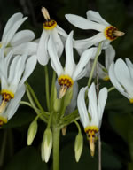picture of Primula meadia, image of Dodecatheon meadia ssp. meadia, photograph of Dodecatheon meadia