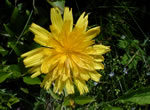 Mountain Dwarf-dandelion