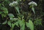 picture of Mikania scandens, image of Mikania scandens, photograph of Mikania scandens