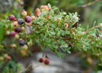 picture of Vaccinium darrowii, image of Vaccinium darrowii, photograph of -