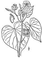 picture of Abutilon theophrasti, image of Abutilon theophrasti, photograph of Abutilon theophrastii