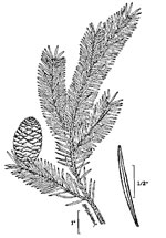 picture of Abies balsamea, image of Abies balsamea, photograph of -