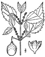 picture of Boehmeria cylindrica, image of Boehmeria cylindrica, photograph of Boehmeria cylindrica