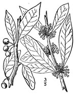 picture of Sideroxylon lycioides, image of Sideroxylon lycioides, photograph of Bumelia lycioides