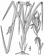 picture of Carex willdenowii, image of Carex willdenowii, photograph of Carex willdenowii