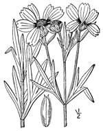picture of -, image of Coreopsis palmata, photograph of -