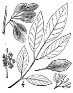 picture of Fraxinus caroliniana, image of Fraxinus caroliniana, photograph of Fraxinus caroliniana