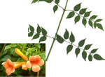 picture of Campsis radicans, image of Campsis radicans, photograph of Campsis radicans