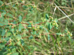 picture of Euphorbia nutans, image of Chamaesyce nutans, photograph of Euphorbia maculata