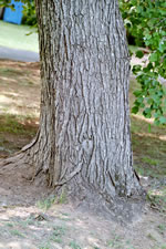 picture of Acer rubrum var. trilobum, image of Acer rubrum var. trilobum, photograph of Acer rubrum