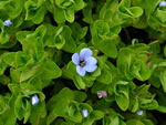 picture of Bacopa caroliniana, image of Bacopa caroliniana, photograph of Bacopa caroliniana