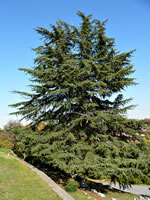 picture of Cedrus deodara, image of Cedrus deodara, photograph of -