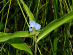 picture of Commelina virginica, image of Commelina virginica, photograph of Commelina virginica