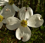 Flowering Dogwood