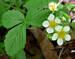 flower of Fragaria virginiana, Fragaria virginiana ssp. virginiana, Fragaria virginiana