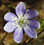 picture of Anemone acutiloba, image of Hepatica nobilis var. acuta, photograph of Hepatica acutiloba