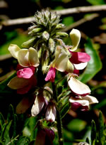 picture of Tephrosia virginiana, image of Tephrosia virginiana, photograph of Tephrosia virginiana
