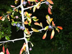picture of Crataegus brachyacantha, image of Crataegus brachyacantha, photograph of -
