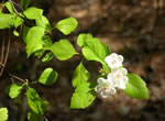 picture of Crataegus mendosa, image of Crataegus mendosa, photograph of -