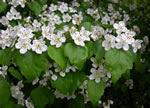 picture of Crataegus pruinosa, image of Crataegus pruinosa, photograph of Crataegus flabellata