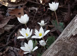 picture of Sanguinaria canadensis, image of Sanguinaria canadensis, photograph of Sanguinaria canadensis