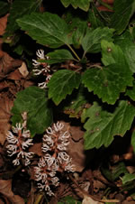 picture of Pachysandra procumbens, image of Pachysandra procumbens, photograph of Pachysandra procumbens